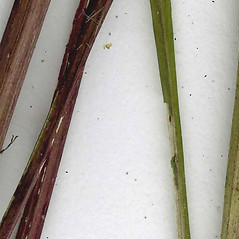Stems: Nabalus altissimus. ~ By CONN Herbarium. ~ Copyright © 2019 CONN Herbarium. ~ Requests for image use not currently accepted by copyright holder ~ U. of Connecticut Herbarium - bgbaseserver.eeb.uconn.edu/