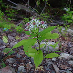 Plant form: Oclemena acuminata. ~ By Arthur Haines. ~ Copyright © 2021. ~ arthurhaines[at]wildblue.net