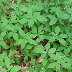 Leaves: Oclemena acuminata. ~ By Arieh Tal. ~ Copyright © 2021 Arieh Tal. ~ http://botphoto.com/ ~ Arieh Tal - botphoto.com