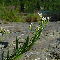 Plant form: Oligoneuron album. ~ By Arthur Haines. ~ Copyright © 2021. ~ arthurhaines[at]wildblue.net