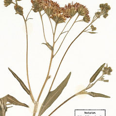Flowers: Palafoxia texana. ~ By University of Massachusetts Herbarium (MASS). ~ Copyright © 2020 University of Massachusetts Herbarium. ~ University of Massachusetts Herbarium ~ U. of Massachusetts Herbarium
