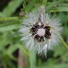 Fruits: Picris hieracioides. ~ By Andrew Nelson. ~ Copyright © 2021 Andrew Nelson. ~ andrew.nelson[at]oswego.edu   ~ New York Flora Atlas - newyork.plantatlas.usf.edu