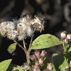 Fruits: Pluchea odorata. ~ By John Gwaltney. ~ Copyright © 2020 John Gwaltney. ~ southeasternflora.com ~ Southeastern Flora - www.southeasternflora.com/