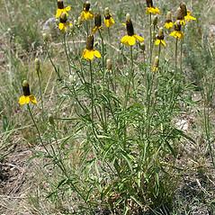 Plant form: Ratibida columnifera. ~ By Keir Morse. ~ Copyright © 2021 Keir Morse. ~ www.keiriosity.com ~ www.keiriosity.com