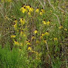 Plant form: Ratibida pinnata. ~ By Paul S. Drobot. ~ Copyright © 2020 Paul S. Drobot. ~ www.plantstogrow.com, www.plantstockphotos.com ~ Robert W. Freckmann Herbarium, U. of Wisconsin-Stevens Point