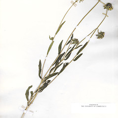 Plant form: Rudbeckia bicolor. ~ By CONN Herbarium. ~ Copyright © 2021 CONN Herbarium. ~ Requests for image use not currently accepted by copyright holder ~ U. of Connecticut Herbarium - bgbaseserver.eeb.uconn.edu/