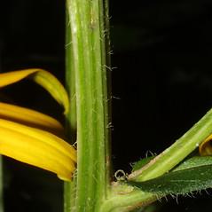 Stems: Rudbeckia fulgida. ~ By Steven Baskauf. ~ Copyright © 2021 CC-BY-NC-SA. ~  ~ Bioimages - www.cas.vanderbilt.edu/bioimages/frame.htm