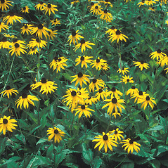 Plant form: Rudbeckia fulgida. ~ By John Lynch. ~ Copyright © 2020 New England Wild Flower Society. ~ Image Request, images[at]newenglandwild.org