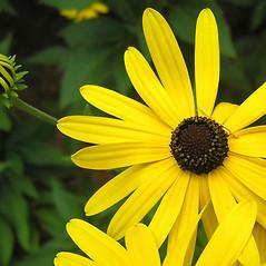 Flowers: Rudbeckia subtomentosa. ~ By Bruce Patterson. ~ Copyright © 2021 Bruce Patterson. ~ foxpatterson[at]comcast.net