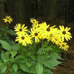 Plant form: Rudbeckia subtomentosa. ~ By Bruce Patterson. ~ Copyright © 2020 Bruce Patterson. ~ foxpatterson[at]comcast.net