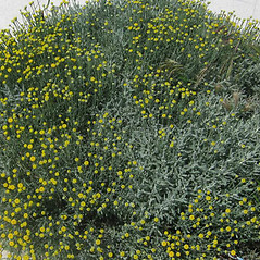 Plant form: Santolina chamaecyparissus. ~ By Luigi Rignanese. ~ Copyright © 2021 Luigi Rignanese. ~ Requests for image use not currently accepted by copyright holder ~ Acta Plantarum -  www.actaplantarum.org