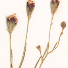 Flowers: Schkuhria pinnata. ~ By Amherst College Herbarium. ~ Copyright © 2019 Amherst College Herbarium. ~ Amherst College Herbarium