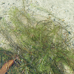 Plant form: Sclerolepis uniflora. ~ By Arthur Haines. ~ Copyright © 2021. ~ arthurhaines[at]wildblue.net