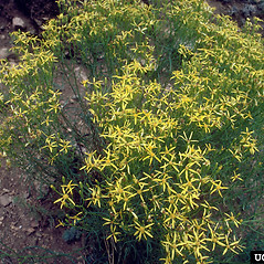 Plant form: Senecio spartioides. ~ By Dave Powell. ~ Copyright © 2020 CC BY-NC 3.0. ~  ~ Bugwood - www.bugwood.org/