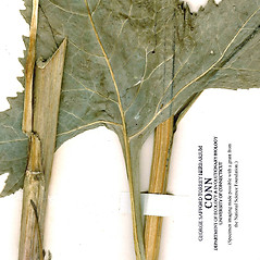 Stems: Senecio suaveolens. ~ By CONN Herbarium. ~ Copyright © 2020 CONN Herbarium. ~ Requests for image use not currently accepted by copyright holder ~ U. of Connecticut Herbarium - bgbaseserver.eeb.uconn.edu/