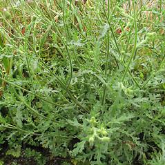 Plant form: Senecio viscosus. ~ By Marilee Lovit. ~ Copyright © 2021 Marilee Lovit. ~ lovitm[at]gmail.com