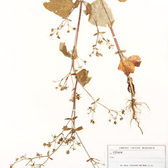 Plant form: Sigesbeckia orientalis. ~ By Amherst College Herbarium. ~ Copyright © 2020 Amherst College Herbarium. ~ Amherst College Herbarium