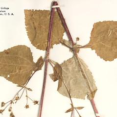 Leaves: Sigesbeckia orientalis. ~ By Amherst College Herbarium. ~ Copyright © 2020 Amherst College Herbarium. ~ Amherst College Herbarium