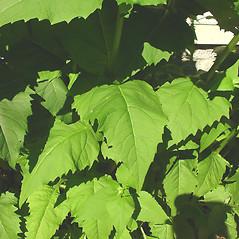 Leaves: Silphium perfoliatum. ~ By Glen Mittelhauser. ~ Copyright © 2020 Glen Mittelhauser. ~ www.mainenaturalhistory.org