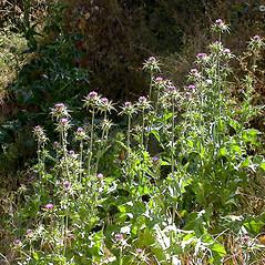 Plant form: Silybum marianum. ~ By Keir Morse. ~ Copyright © 2019 Keir Morse. ~ www.keiriosity.com ~ www.keiriosity.com