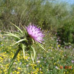 Stems: Silybum marianum. ~  ~ Copyright © 2021. ~
