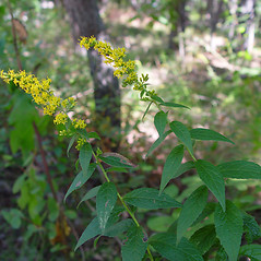 Plant form: Solidago aestivalis. ~ By Arthur Haines. ~ Copyright © 2020. ~ arthurhaines[at]wildblue.net