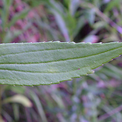 Leaves: Solidago altissima. ~ By Arthur Haines. ~ Copyright © 2020. ~ arthurhaines[at]wildblue.net