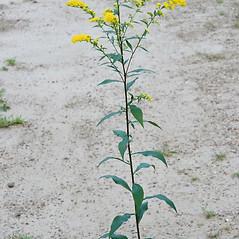 Plant form: Solidago arguta. ~ By Arieh Tal. ~ Copyright © 2019 Arieh Tal. ~ www.nttlphoto.com ~ Arieh Tal - www.nttlphoto.com