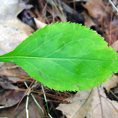 Leaves: Solidago arguta. ~ By Arthur Haines. ~ Copyright © 2021. ~ arthurhaines[at]wildblue.net