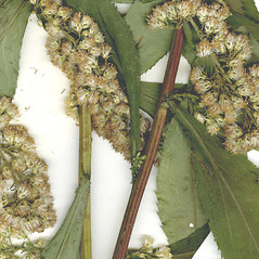 Stems: Solidago arguta. ~ By CONN Herbarium. ~ Copyright © 2021 CONN Herbarium. ~ Requests for image use not currently accepted by copyright holder ~ U. of Connecticut Herbarium - bgbaseserver.eeb.uconn.edu/