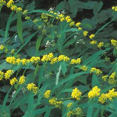 Plant form: Solidago caesia. ~ By William Cullina. ~ Copyright © 2020 William Cullina. ~ bill[at]williamcullina.com