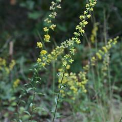 Plant form: Solidago erecta. ~ By Arieh Tal. ~ Copyright © 2021 Arieh Tal. ~ www.nttlphoto.com ~ Arieh Tal - www.nttlphoto.com