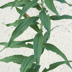 Leaves: Solidago gigantea. ~ By Arieh Tal. ~ Copyright © 2020 Arieh Tal. ~ www.nttlphoto.com ~ Arieh Tal - www.nttlphoto.com