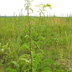 Plant form: Solidago juncea. ~ By Donna Kausen. ~ Copyright © 2020 Donna Kausen. ~ 33 Bears Den, Addison, ME 04606