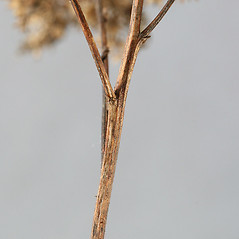 Stems: Solidago juncea. ~ By Arieh Tal. ~ Copyright © 2020 Arieh Tal. ~ http://botphoto.com/ ~ Arieh Tal - botphoto.com