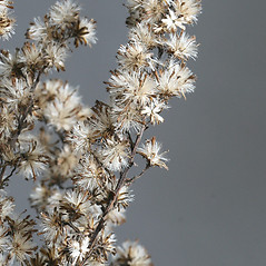 Fruits: Solidago latissimifolia. ~ By Arieh Tal. ~ Copyright © 2021 Arieh Tal. ~ http://botphoto.com/ ~ Arieh Tal - botphoto.com