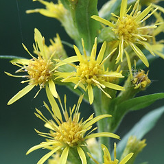 Flowers: Solidago macrophylla. ~ By Arieh Tal. ~ Copyright © 2021 Arieh Tal. ~ http://botphoto.com/ ~ Arieh Tal - botphoto.com