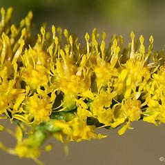 Flowers: Solidago nemoralis. ~ By Arieh Tal. ~ Copyright © 2021 Arieh Tal. ~ http://botphoto.com/ ~ Arieh Tal - botphoto.com