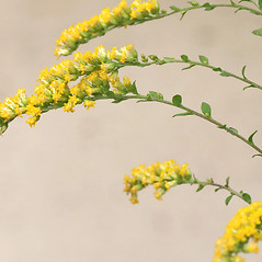 Flowers: Solidago rugosa. ~ By Arieh Tal. ~ Copyright © 2021 Arieh Tal. ~ http://botphoto.com/ ~ Arieh Tal - botphoto.com