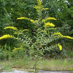 Plant form: Solidago rugosa. ~ By Donald Cameron. ~ Copyright © 2020 Donald Cameron. ~ No permission needed for non-commercial uses, with proper credit