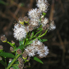 Fruits: Solidago sempervirens. ~ By Bruce Patterson. ~ Copyright © 2020 Bruce Patterson. ~ foxpatterson[at]comcast.net