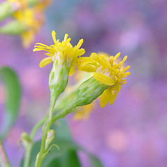 Flowers: Solidago sempervirens. ~ By Arthur Haines. ~ Copyright © 2020. ~ arthurhaines[at]wildblue.net