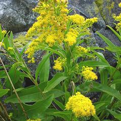 Plant form: Solidago sempervirens. ~ By Glen Mittelhauser. ~ Copyright © 2020 Glen Mittelhauser. ~ www.mainenaturalhistory.org