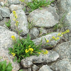 Plant form: Solidago simplex. ~ By Arthur Haines. ~ Copyright © 2019. ~ arthurhaines[at]wildblue.net
