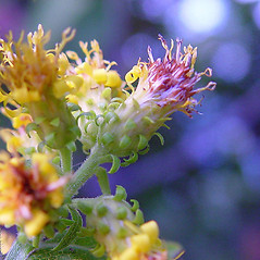 Flowers: Solidago squarrosa. ~ By Arthur Haines. ~ Copyright © 2020. ~ arthurhaines[at]wildblue.net
