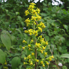 Flowers: Solidago squarrosa. ~ By Donald Cameron. ~ Copyright © 2021 Donald Cameron. ~ No permission needed for non-commercial uses, with proper credit