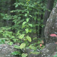 Plant form: Solidago squarrosa. ~ By Arieh Tal. ~ Copyright © 2020 Arieh Tal. ~ http://botphoto.com/ ~ Arieh Tal - botphoto.com