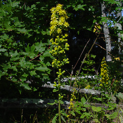 Plant form: Solidago squarrosa. ~ By Donald Cameron. ~ Copyright © 2020 Donald Cameron. ~ No permission needed for non-commercial uses, with proper credit