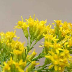 Flowers: Solidago uliginosa. ~ By Arieh Tal. ~ Copyright © 2020 Arieh Tal. ~ http://botphoto.com/ ~ Arieh Tal - botphoto.com