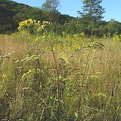 Plant form: Solidago ulmifolia. ~ By Arthur Haines. ~ Copyright © 2021. ~ arthurhaines[at]wildblue.net